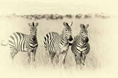 Zebra on grassland in Africa. Vintage effect Royalty Free Stock Photography