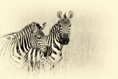 Zebra on grassland in Africa. Vintage effect Royalty Free Stock Images