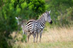 Zebra on grassland in Africa. National park of Kenya stock photo
