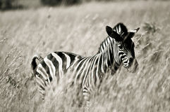 Zebra in grassland Royalty Free Stock Photo