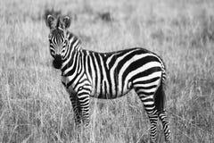 Zebra on Grassland Grayscale Photography Royalty Free Stock Photos