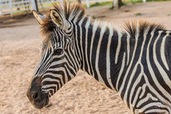 Zebra. On grassland in Thailand Royalty Free Stock Images