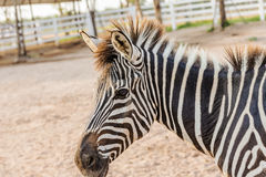 Zebra. On grassland in Thailand Stock Images