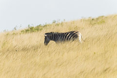 Zebra Grassland Wildlife. Zebra wildlife animal in grassland wilderness reserve park Royalty Free Stock Image