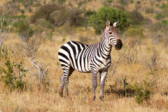 Zebra in the grasslands of the Serengeti at dawn Stock Photography