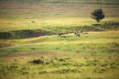 Zebra grassscape Royalty Free Stock Photo