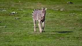 A zebra on a grassy savannah. royalty free stock image