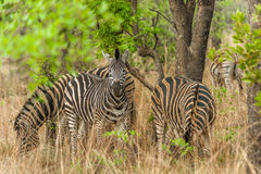 Zebra graze peacefully under acacia trees Stock Images