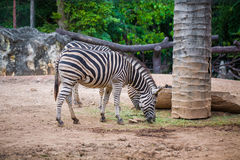 Zebra grazes the grass of Thai Zoo Royalty Free Stock Photo