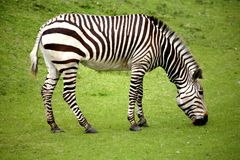 Hungry lonely zebra royalty free stock photography