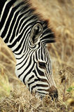 Zebra Grazing. A zebra grazes in Mikumi Park, Tanzania Stock Photos