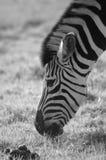 Zebra grazing. Black and white side view of zebra grazing Royalty Free Stock Photo