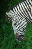 Zebra grazing Stock Photos