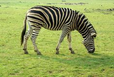 Zebra Grazing. A Chapmans Zebra Grazing on Grassland stock photography