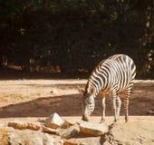 Zebra Grazing Royalty Free Stock Image