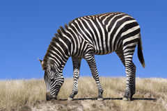 Zebra grazing Royalty Free Stock Image