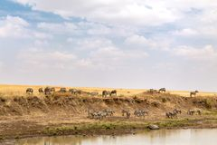 Zebra grazing on the banks of the Mara river Royalty Free Stock Image