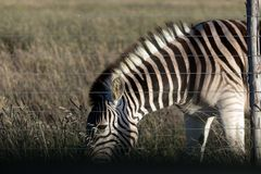 Zebra grazing behind a fence royalty free stock photo