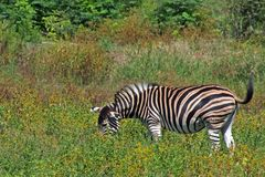 Zebra Grazing in Bushveld Royalty Free Stock Photos