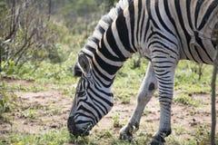 Zebra grazing Royalty Free Stock Photography