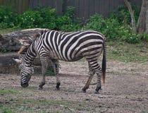 Zebra grazing Stock Photography