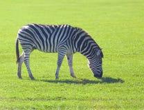 Zebra grazing Stock Photo