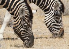 Zebra grazing in etosha Royalty Free Stock Photo