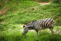 Zebra grazing in a field. In the zoo Stock Photo