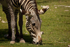Zebra Grazing on Grass Royalty Free Stock Images