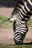 Zebra grazing grass Royalty Free Stock Image