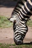 Zebra grazing grass Royalty Free Stock Image