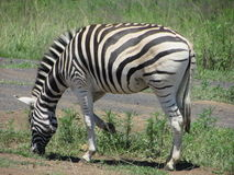Zebra grazing on grass in at Midmar nature reserve in KwaZulu-Natal South Africa Stock Photos