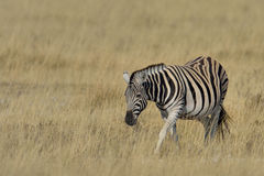 Zebra grazing on grass on the pan in Etosha National Park, Namibia Stock Photography