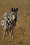 Zebra grazing on grass. Zebra staring at possible prey Stock Images