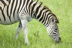 Zebra grazing on grass in Umfolozi Game Reserve, South Africa, established in 1897 Royalty Free Stock Image