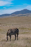 Zebra grazing on grassland near San Simeon Stock Image