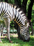 Zebra Grazing. A zebra grazes on some green grass Royalty Free Stock Photography