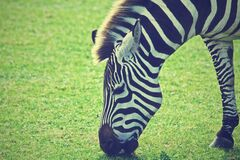 Zebra grazing in green field