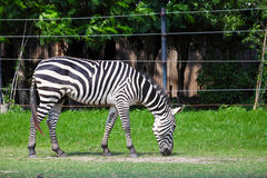 Zebra Grazing in Green Field Royalty Free Stock Images