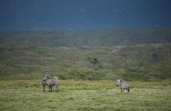 Zebra grazing at lake Nakuru. Kenya, Africa Royalty Free Stock Photo