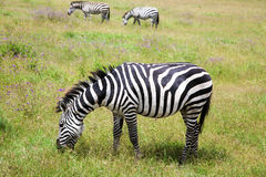 Zebra grazing on lush meadows in Ngorongoro Crater royalty free stock photography