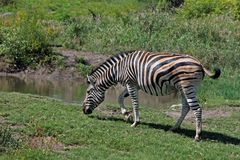 Zebra Grazing Near Water Stock Image