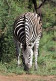 Zebra Grazing in South Africa. Zebra grazing in Pilanesberg National Park in South Africa royalty free stock image
