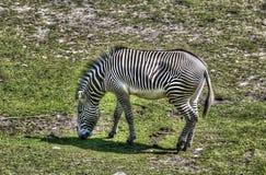 Zebra grazing in savanna Royalty Free Stock Photo