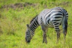 Zebra grazing in savanna Royalty Free Stock Images