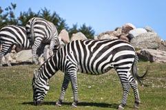 Zebra grazing on savannah Stock Image