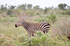 A zebra grazing. In the savannah of Tsavo park is at Ken Stock Photos