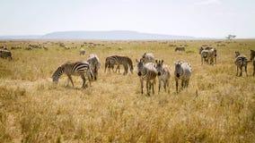 Zebra grazing in Serengeti Tanzania Royalty Free Stock Image