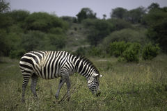 Zebra grazing on the Serengeti Stock Photography
