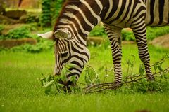 Zebra grazing. Royalty Free Stock Image
